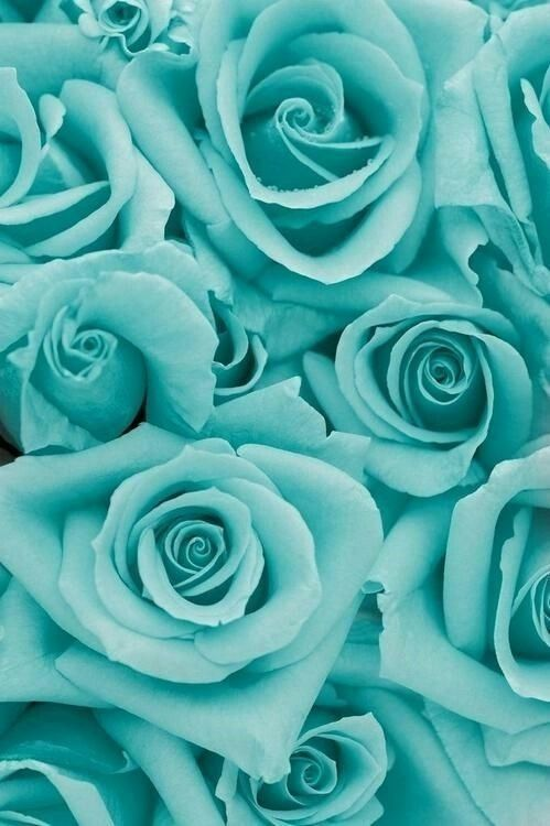 Tiffany blue roses iPhone Wallpaper Pinterest 499x750