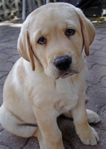 yellow lab puppy wallpaper 450x628