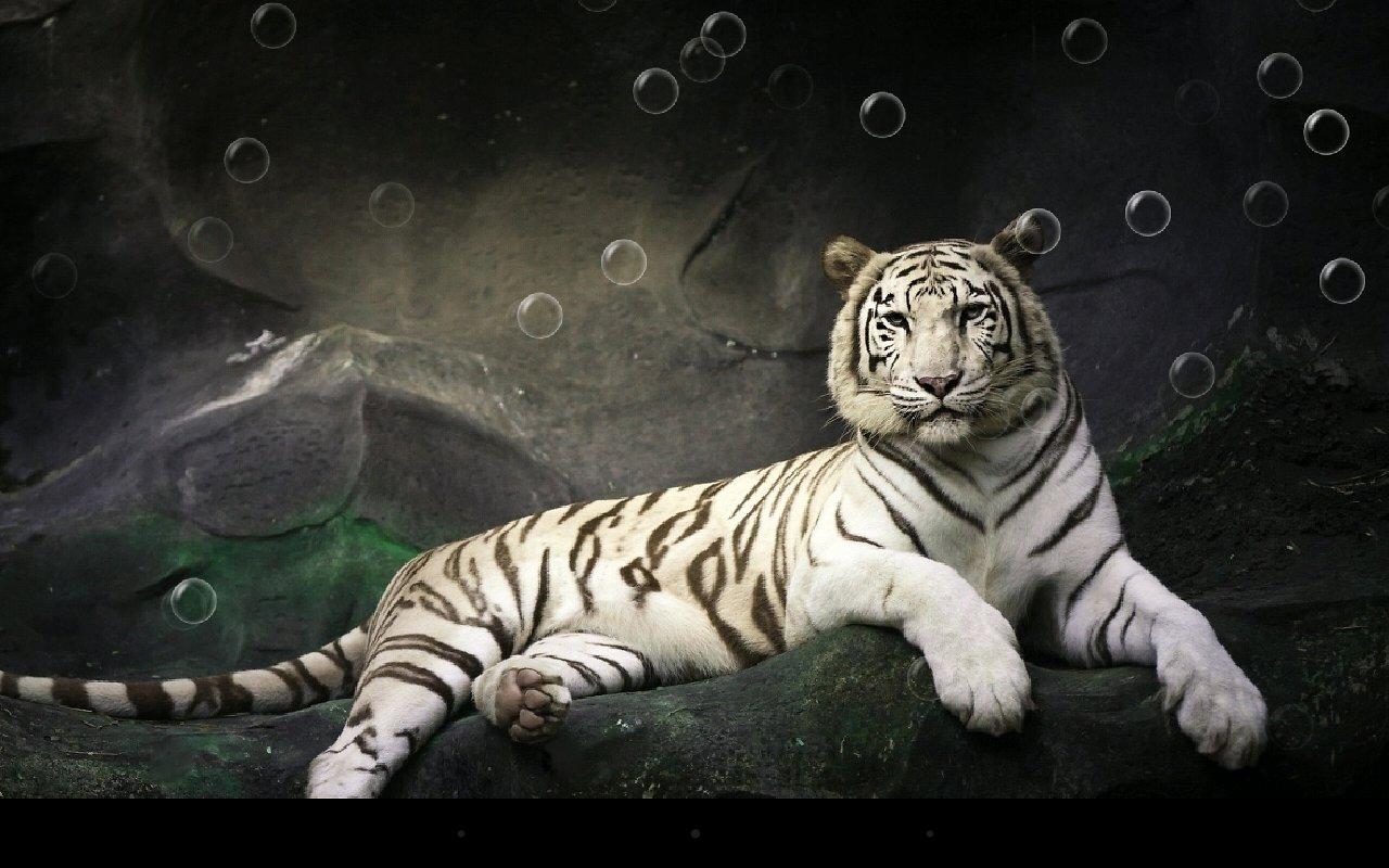 tiger live wallpaper wallpapersafari