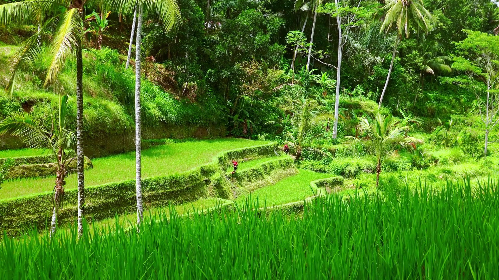 Well groomed rice terraces covered in vegetation against thick 1920x1080