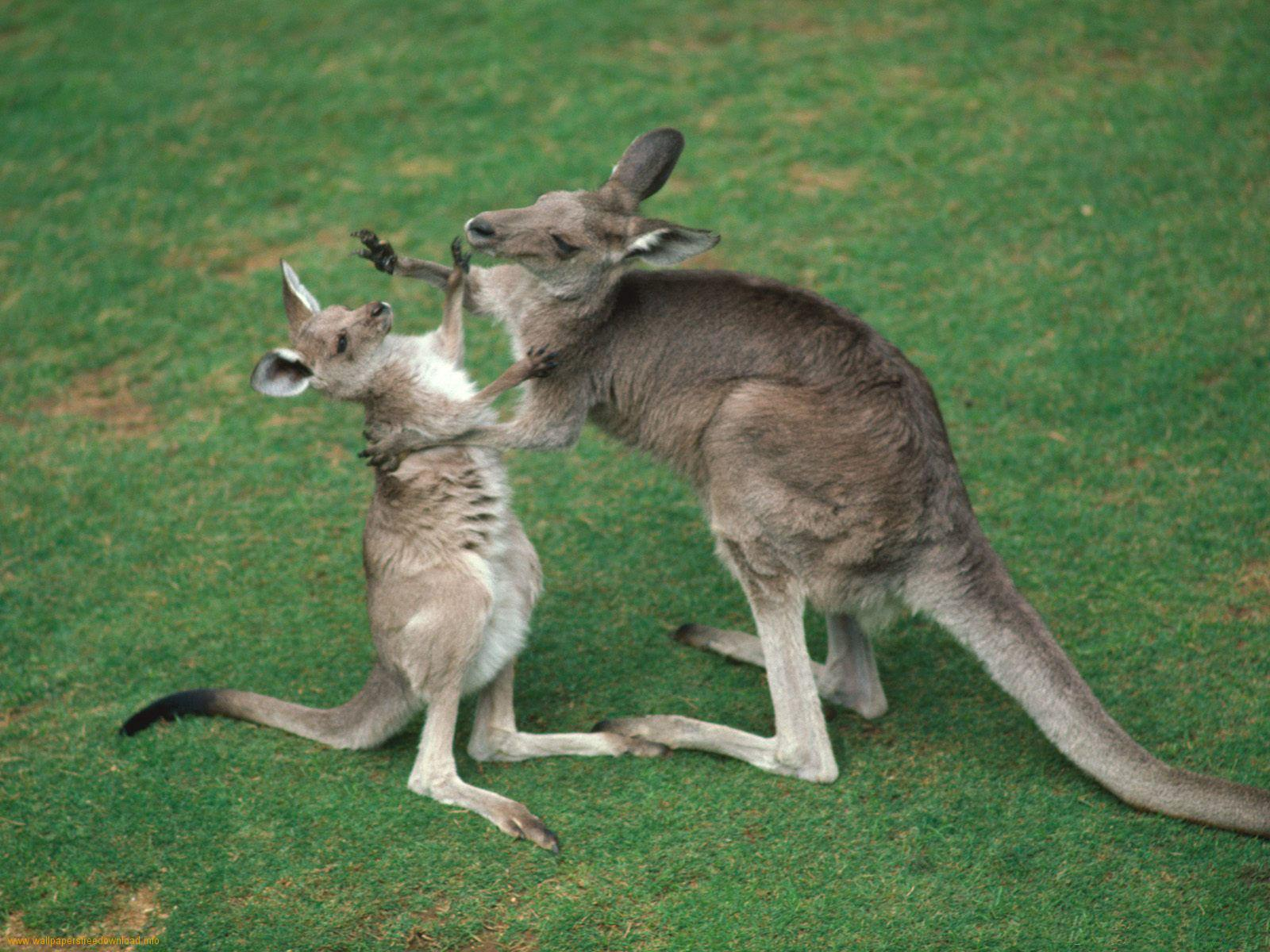 From Australia Design wallpapers for windows 7 Kangaroos Wallpapers 1600x1200