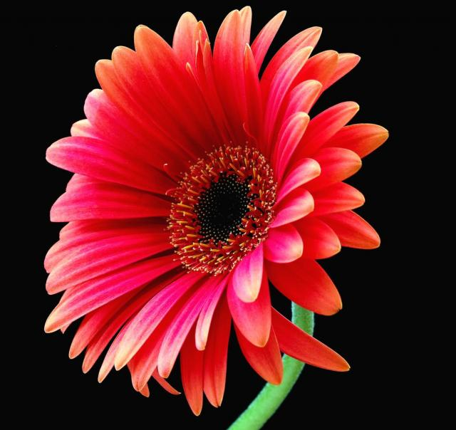 Beautiful Wallpapers gerbera and daisy flower wallpaper 640x604
