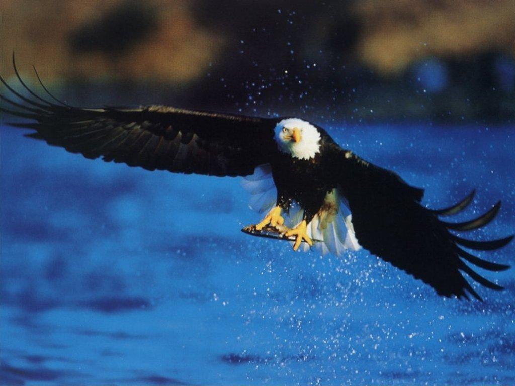 American Bald Eagle fishing   wildlife computer desktop wallpaper 1024x768