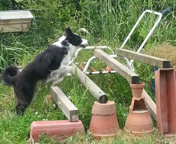 Related Pictures blue merle australian shepherd border collie mix 583x480