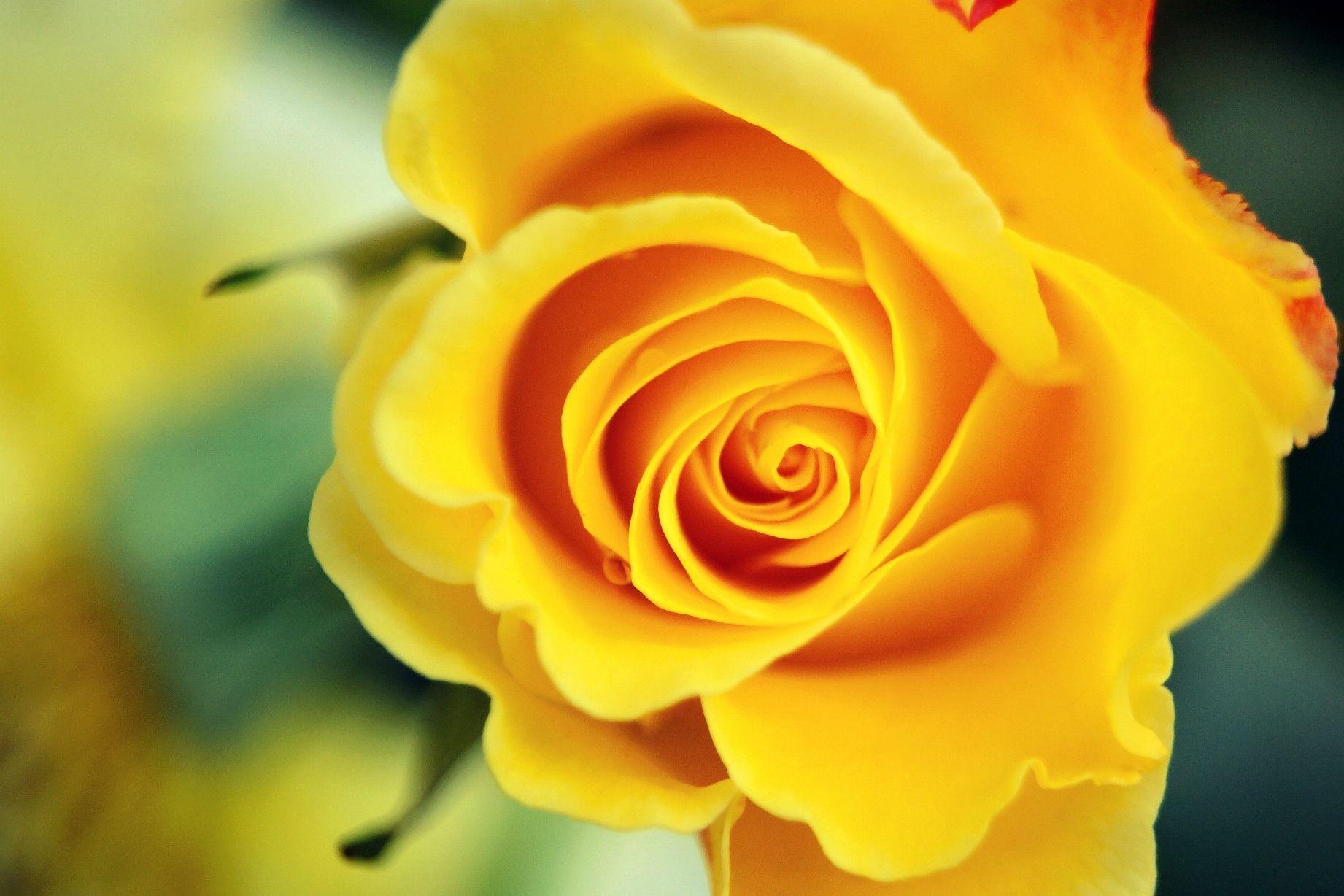 1842x1228px yellow roses wallpaper - wallpapersafari