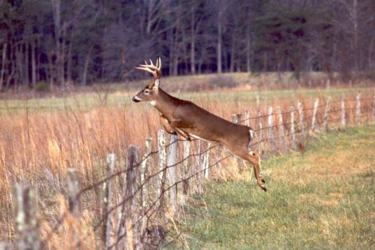 Big Buck Jumping Fence Big Bucks Pinterest 736x490