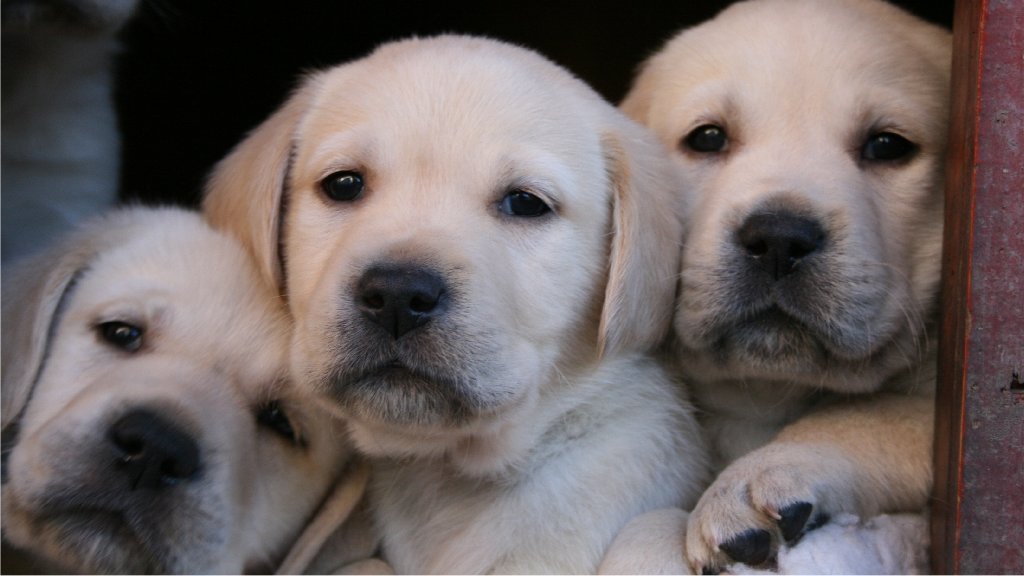 922026 Yellow Labrador Retriever Puppies 922068 Yellow Labrador 1024x576