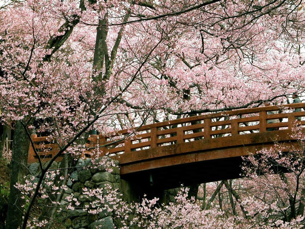 Cherry Blossom Wallpapers   Cherry Blossom Wallpaper 25312463 1024x768