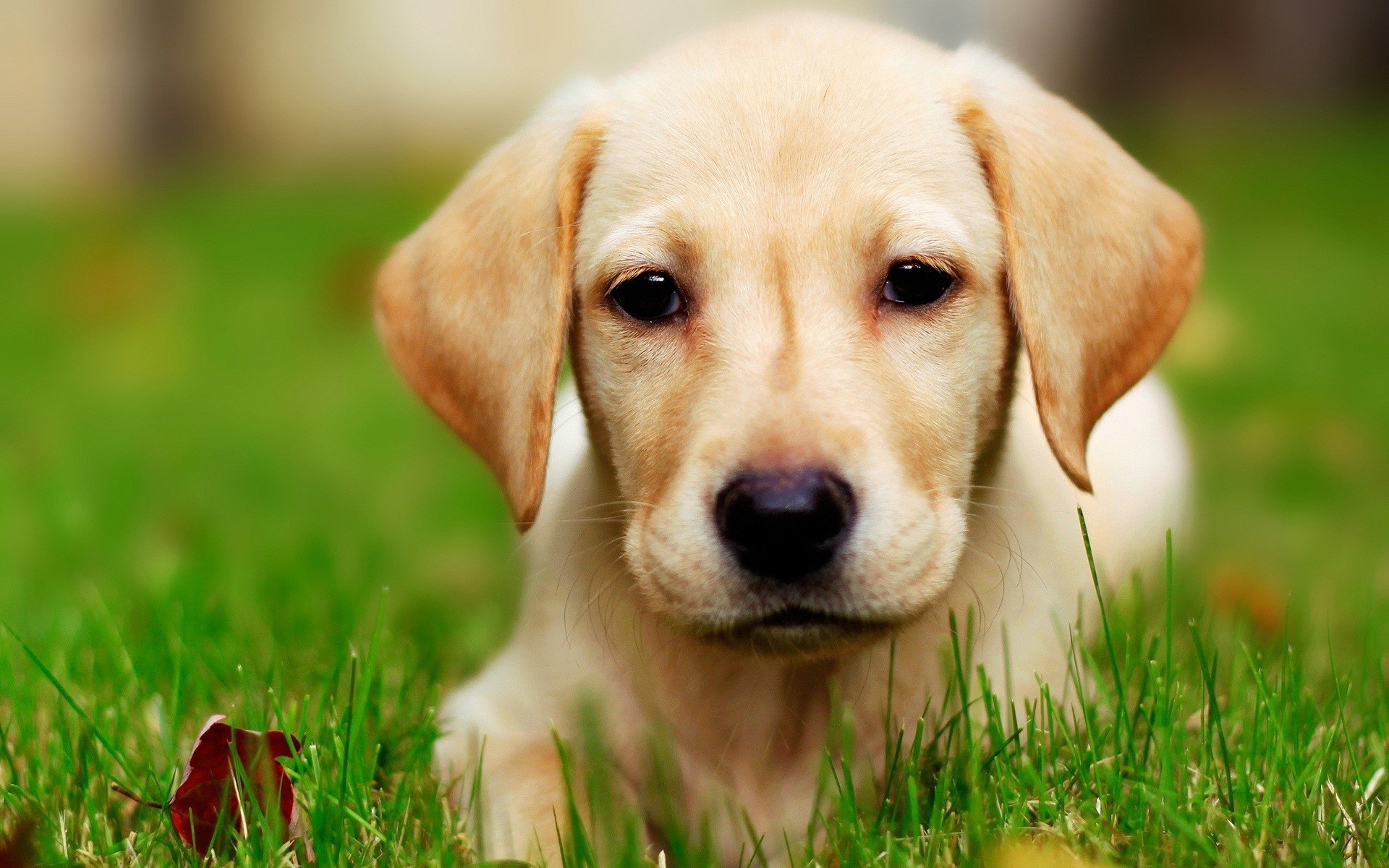 Modern Yellow Lab Puppy The Wallpapers 1920x1200 HD 1920x1200