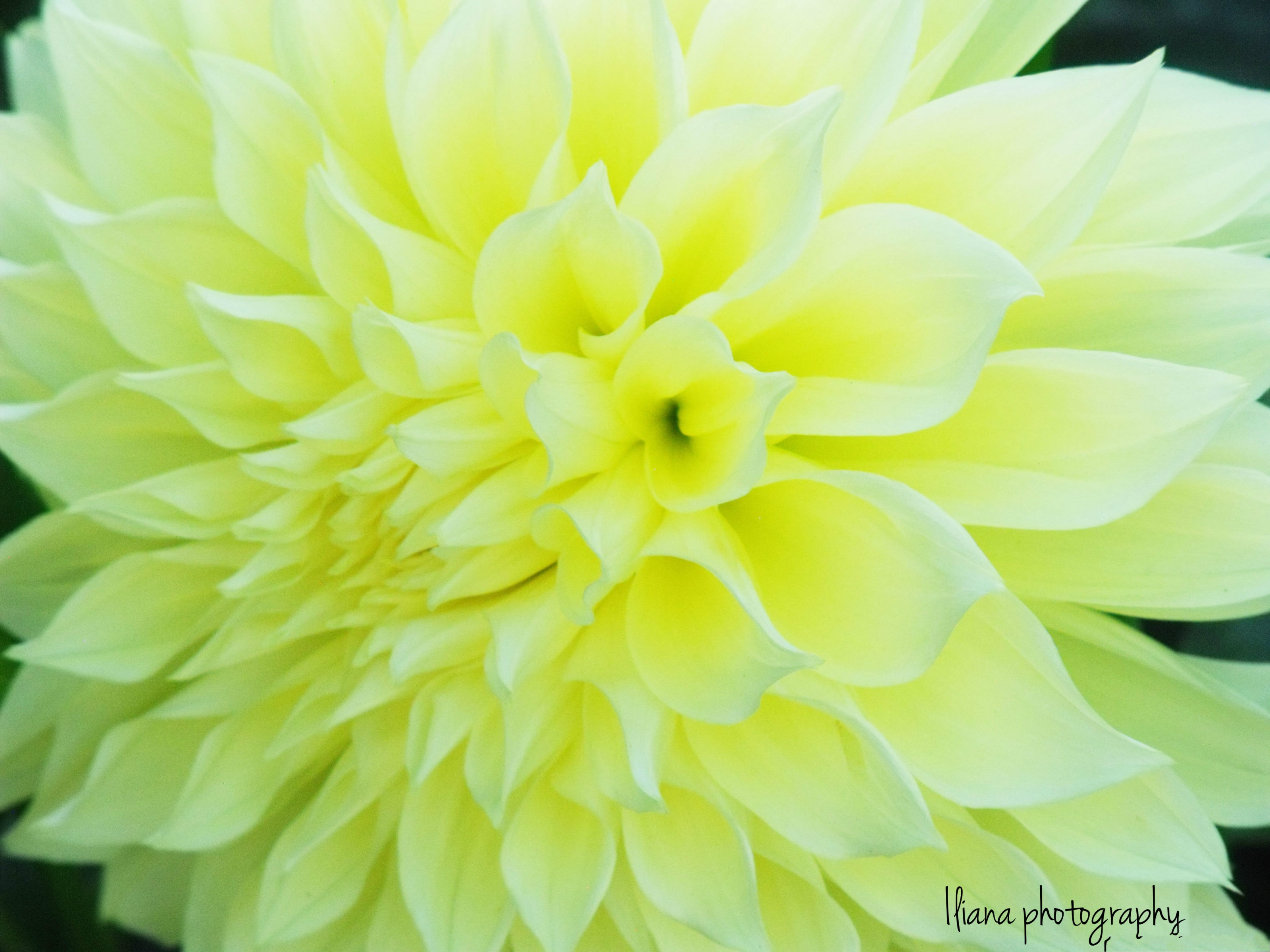 Light Yellow Flower on Black Background3200X2400 wallpaper 3200x2400