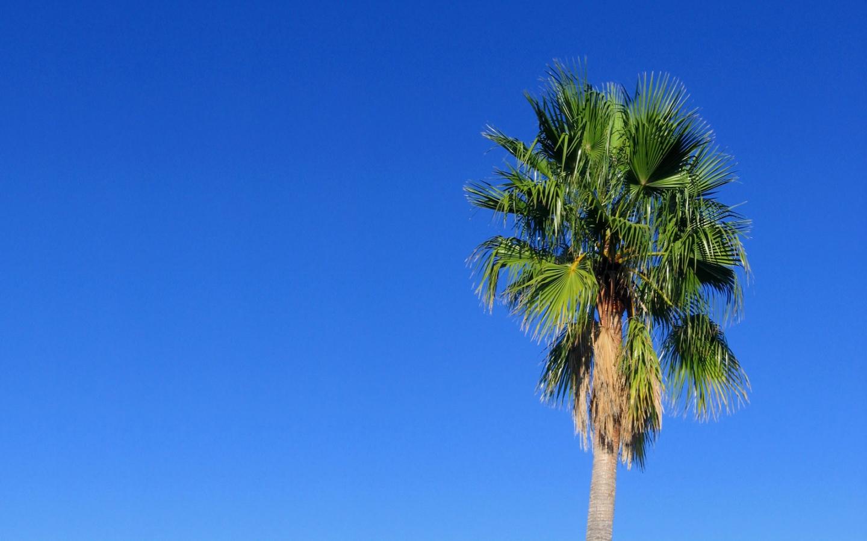Palm Tree   Desktop Wallpaper 1440x900