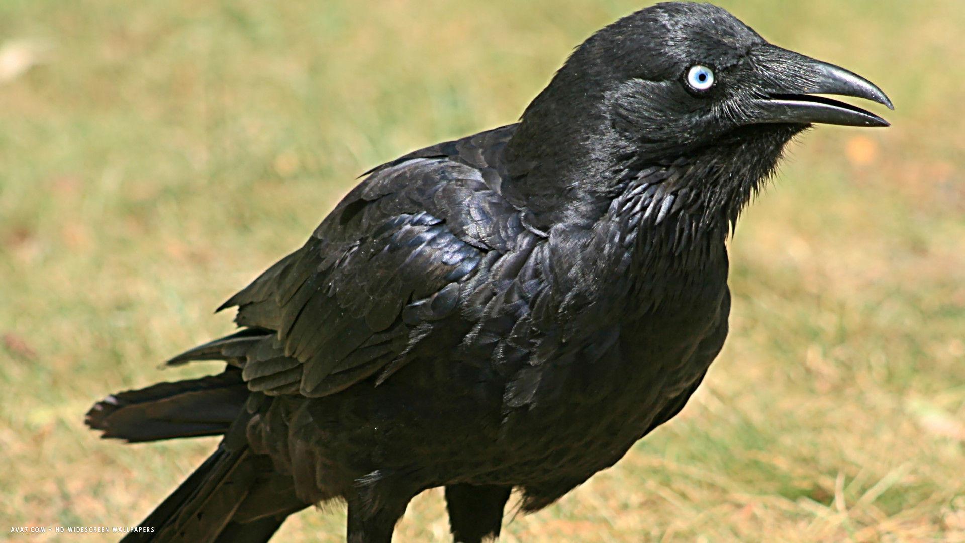 Ravens flying wallpaper - photo#32