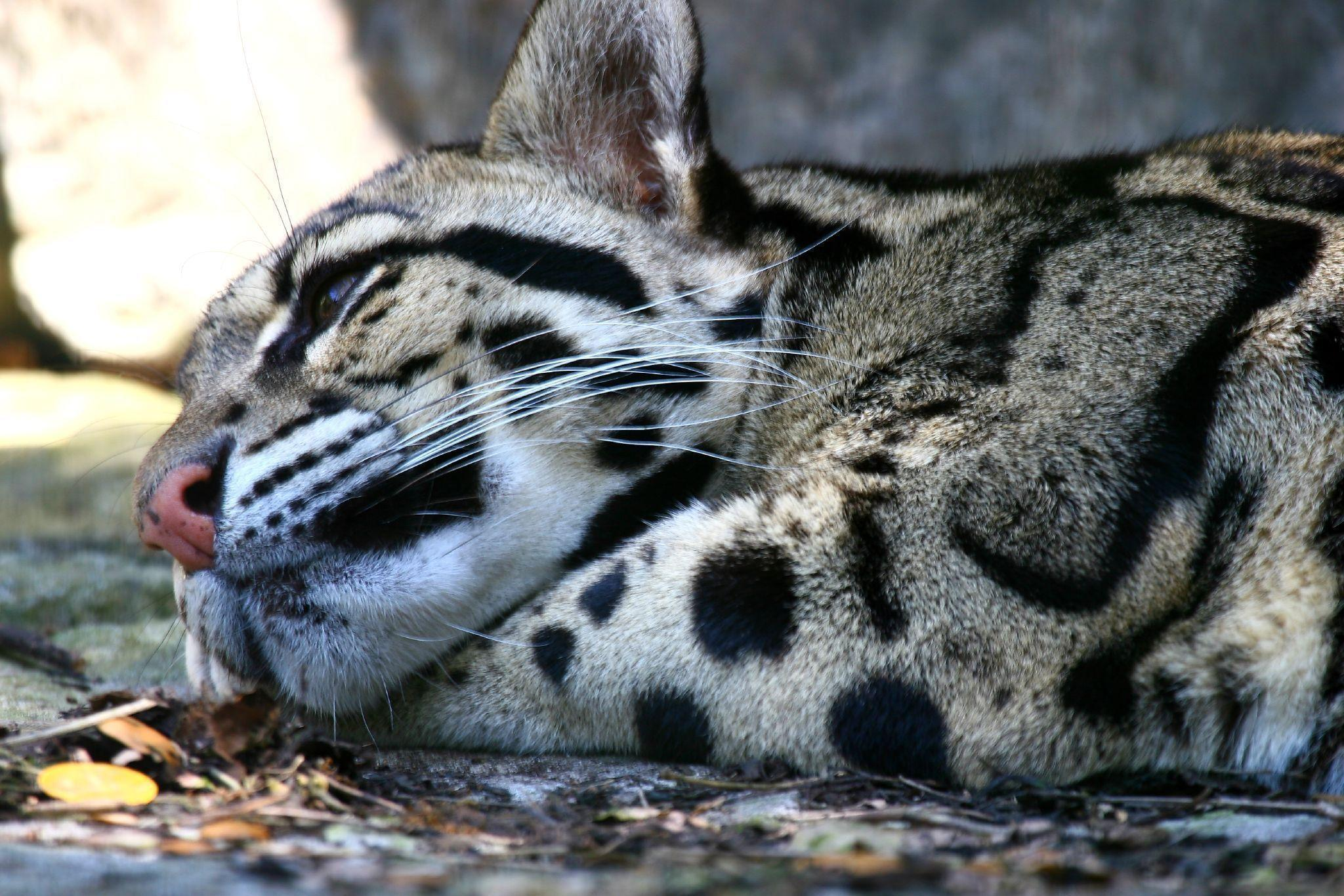 Clouded Leopard Wallpapers 2048x1365