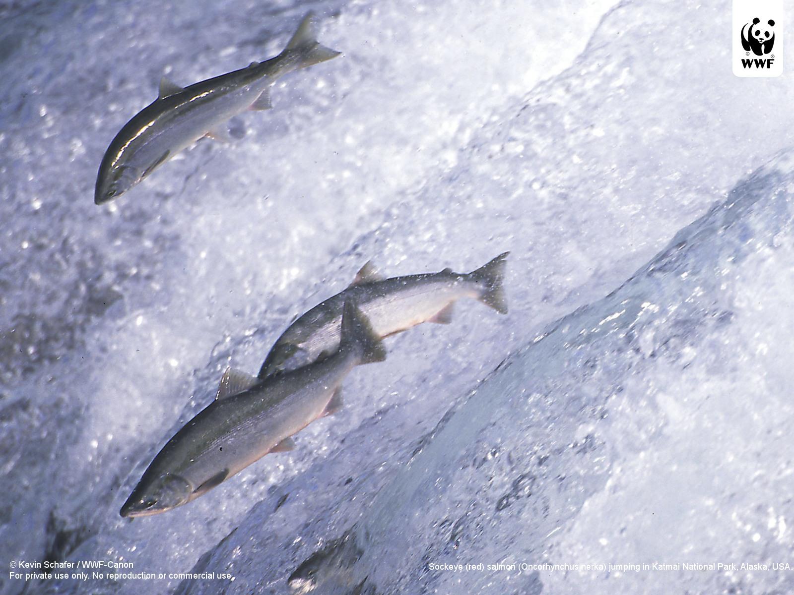 Salmon European Pacific WWF 1600x1200
