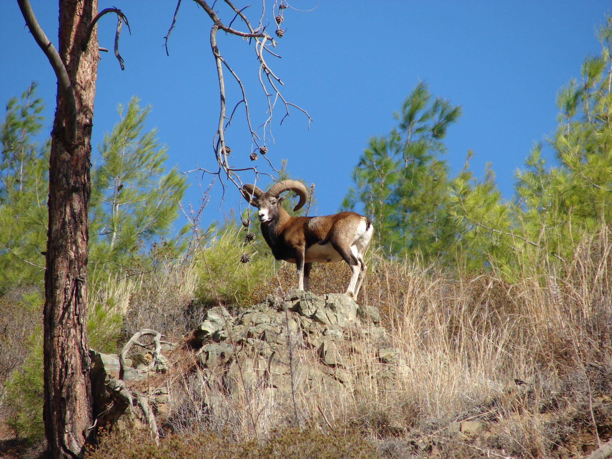FileCyprus wild mouflon Agrinojpg   Wikimedia Commons 2048x1536