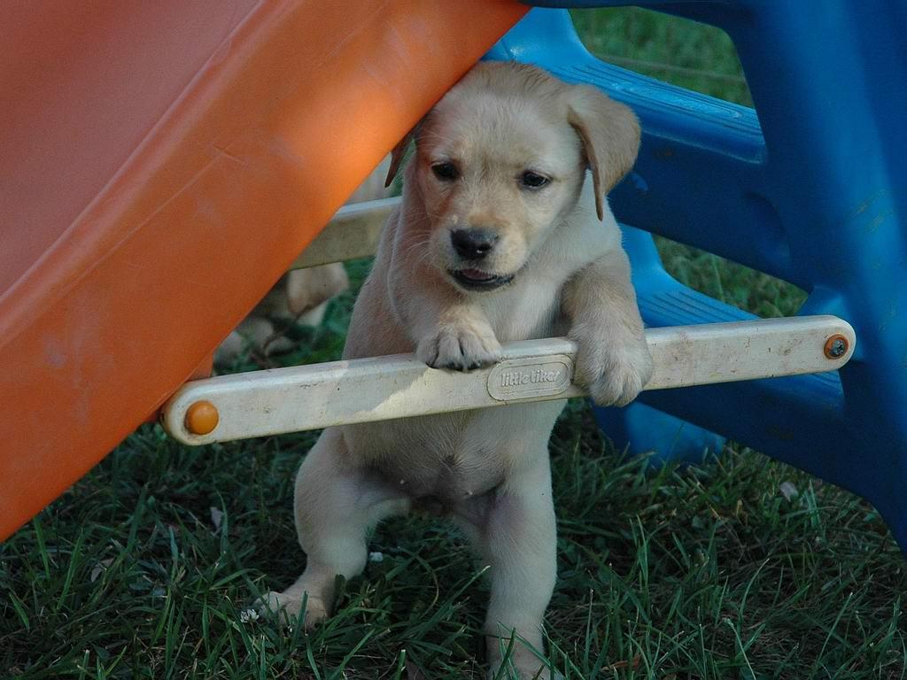 Yellow Lab Puppy 921935 Yellow Lab Puppy 921894 Yellow Lab Puppy 1024x768
