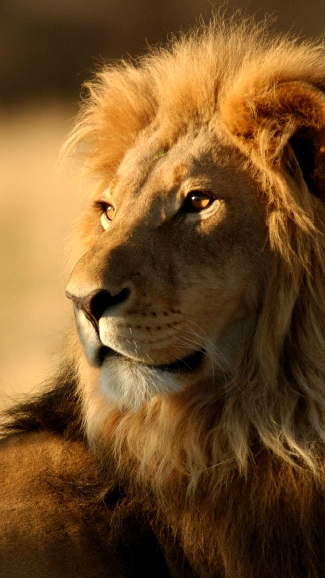 Lion Wallpaper Hd Animals Lion Iphone 6 Plus Wallpaper 1080x1920