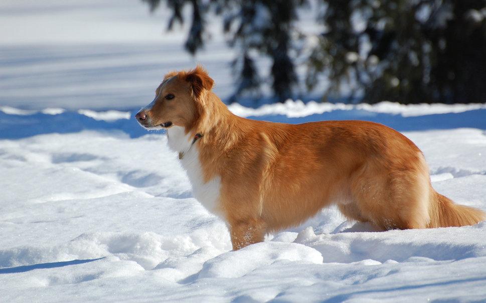 Dog in the snow wallpaper   ForWallpapercom 969x606