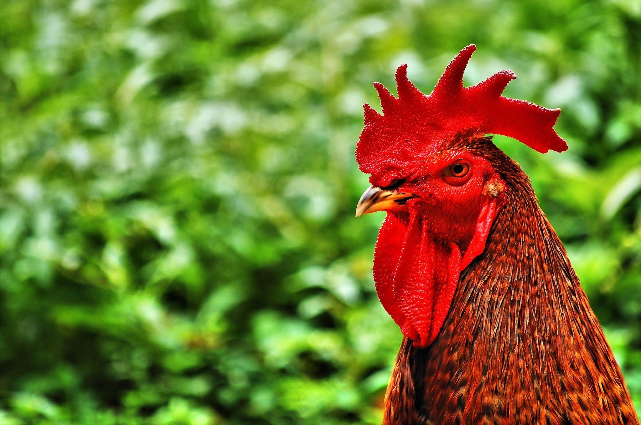 Chicken Rooster wallpaper 2047x1356 163072 WallpaperUP 2047x1356