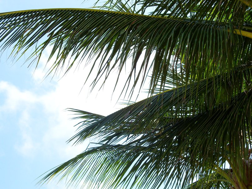 Palm Tree Leaves wallpaper   ForWallpapercom 808x606