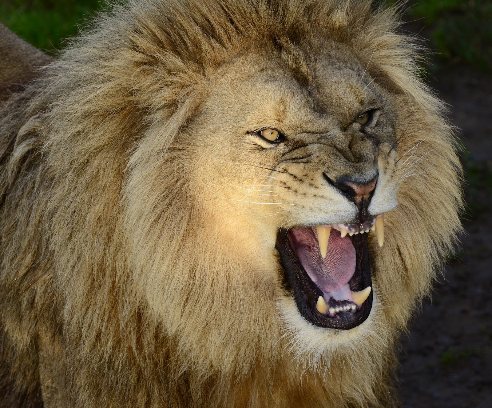 Angry lion face hd