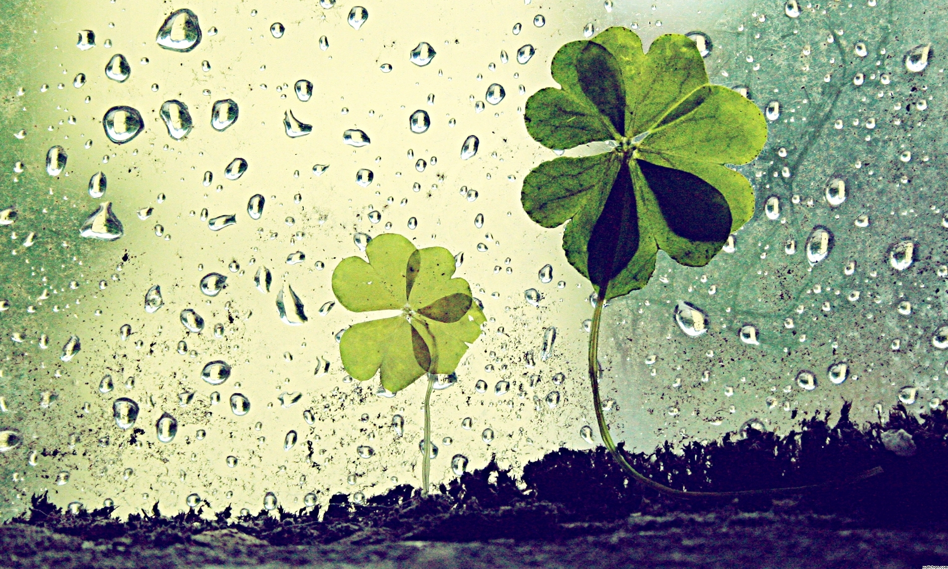Clover Wallpapers Pictures Images 1891x1135