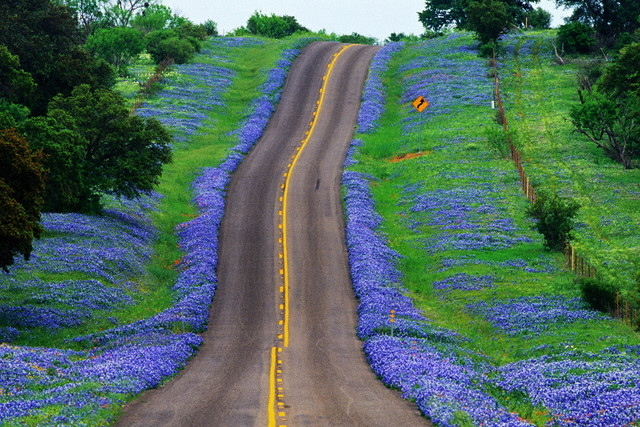 freebluebonnet wallpaper desktopbluebonnet wallpaper iphonetexas 640x427