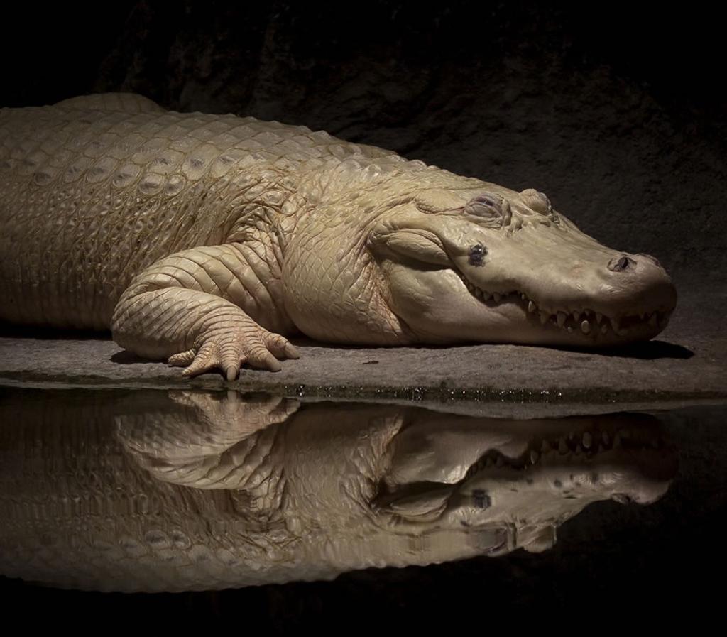 white alligator wallpaper   ForWallpapercom 1024x897