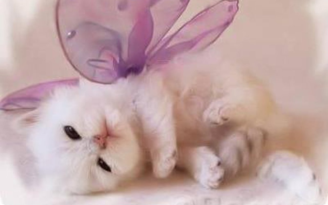 Cute Kitten Wallpaper   Kittens Wallpaper 16094693 1280x800