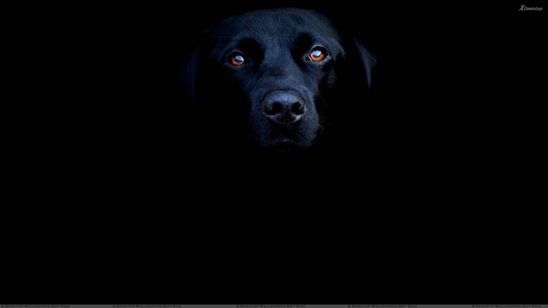 Black Labrador Face Closeup On Black Background Wallpaper 1920x1080