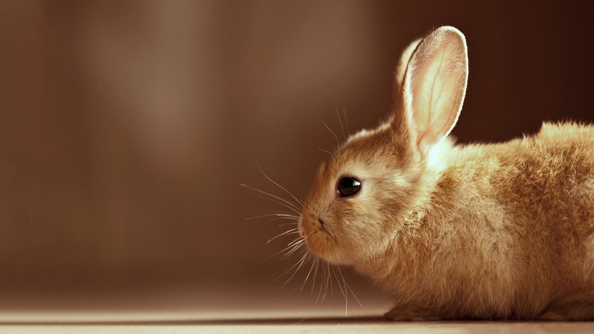 Description Cute Bunny HD Wallpaper is a hi res Wallpaper for pc 1920x1080
