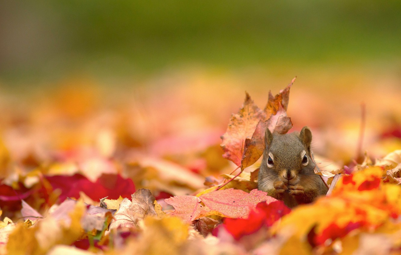 Wallpaper autumn leaves nature protein images for desktop 1332x850
