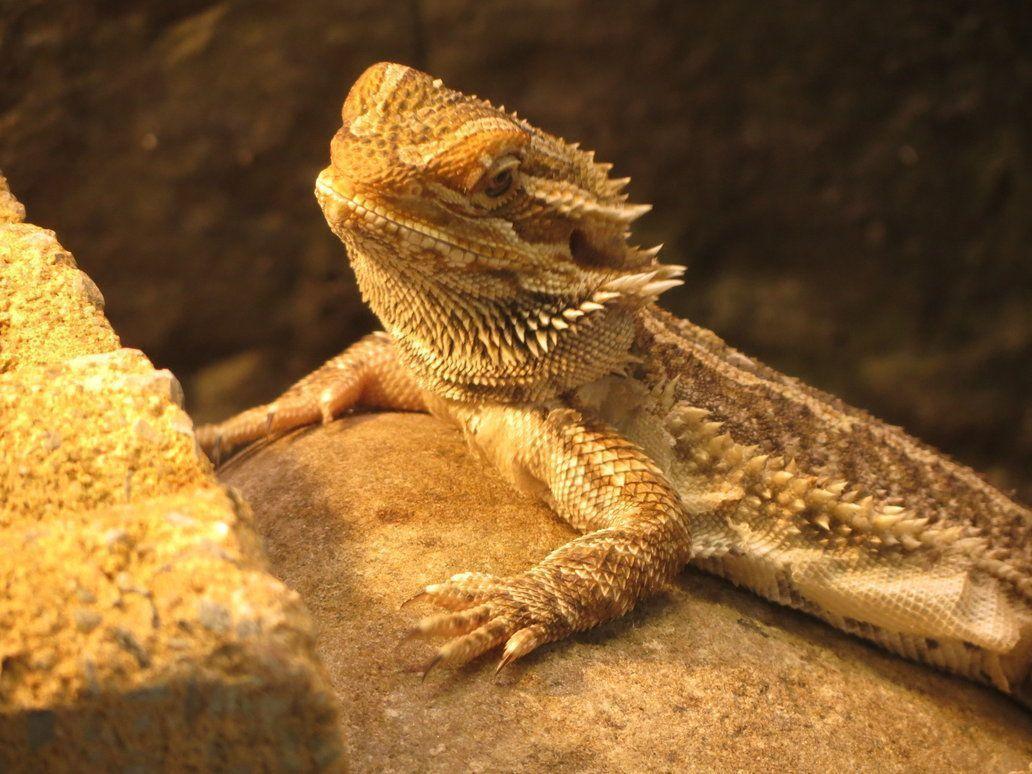 bearded lizard dragon - HD1032×774
