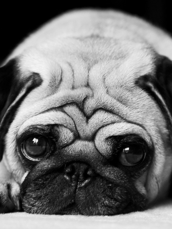 Download Cute Little Pug Screensaver For Amazon Kindle 3 600x800