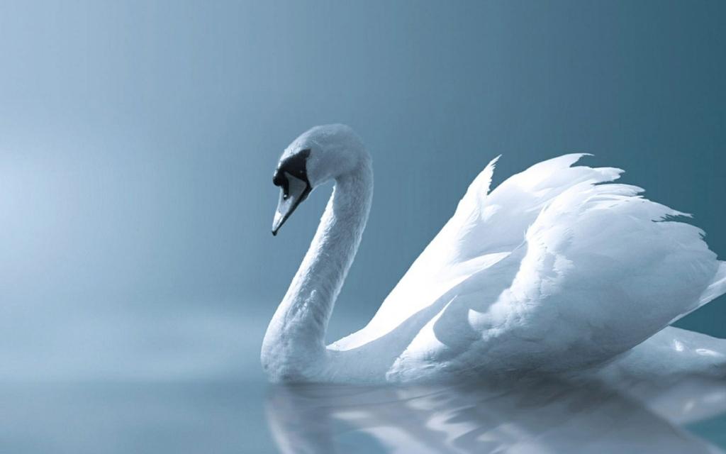 White Swan Wallpaper   Easy Pic Download 1024x640