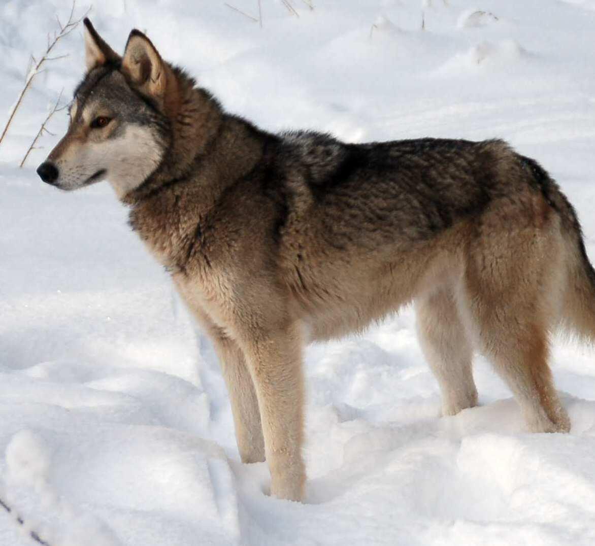 Tamaskan dog in the snow photo and wallpaper Beautiful Tamaskan dog 1172x1076