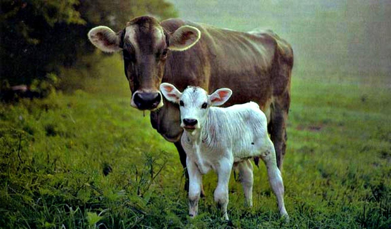 hd cow wallpaper wallpapersafari