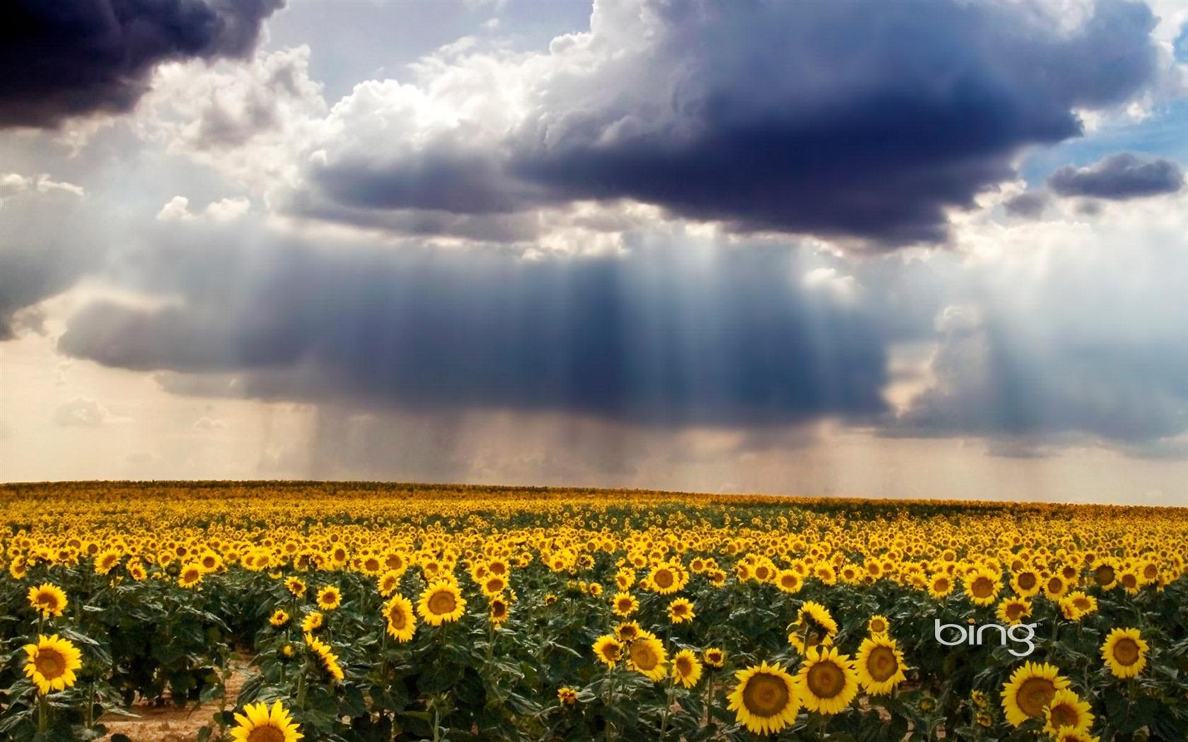 Bing Thmes champs de tournesols nuages Widescreen Wallpaper 1680x1050