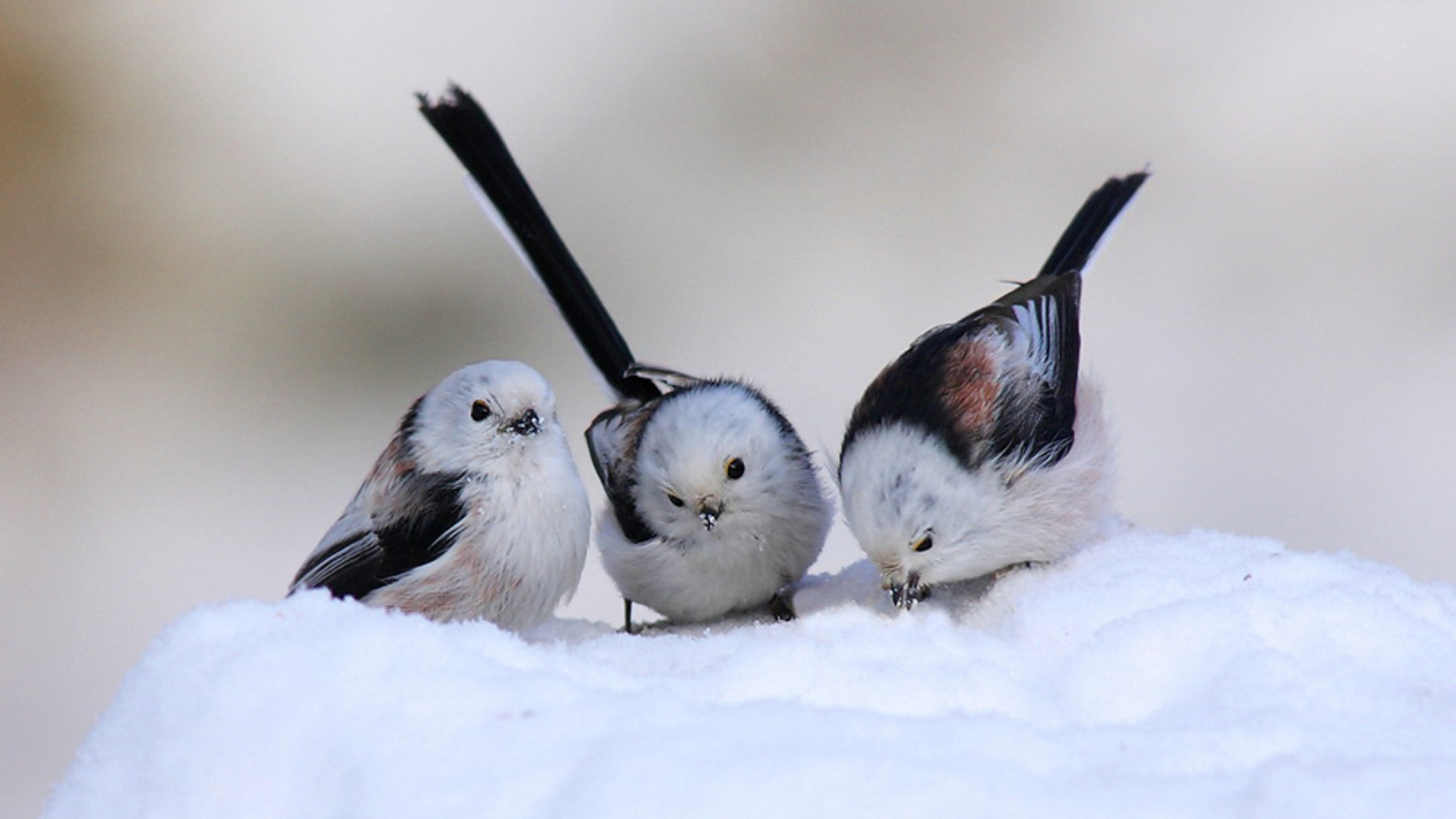 Cute Birds in Winter Milad Nasri 2560x1440