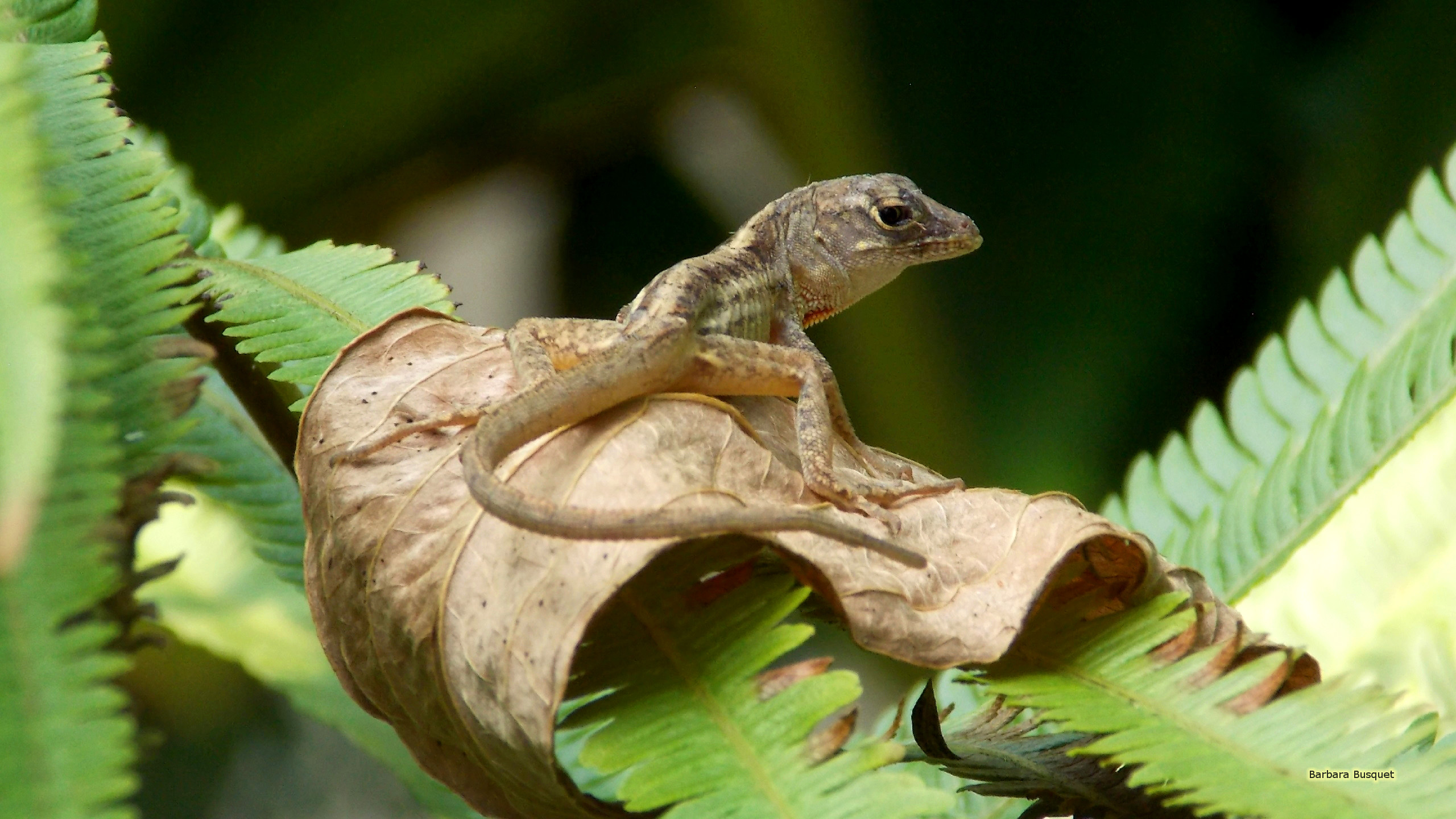 Madagascar day gecko   Barbaras HD Wallpapers 2560x1440