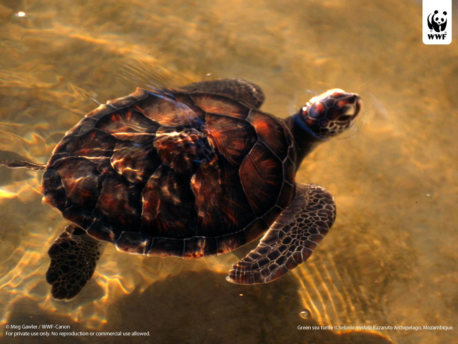 44 Sea Turtle Iphone Wallpaper On Wallpapersafari
