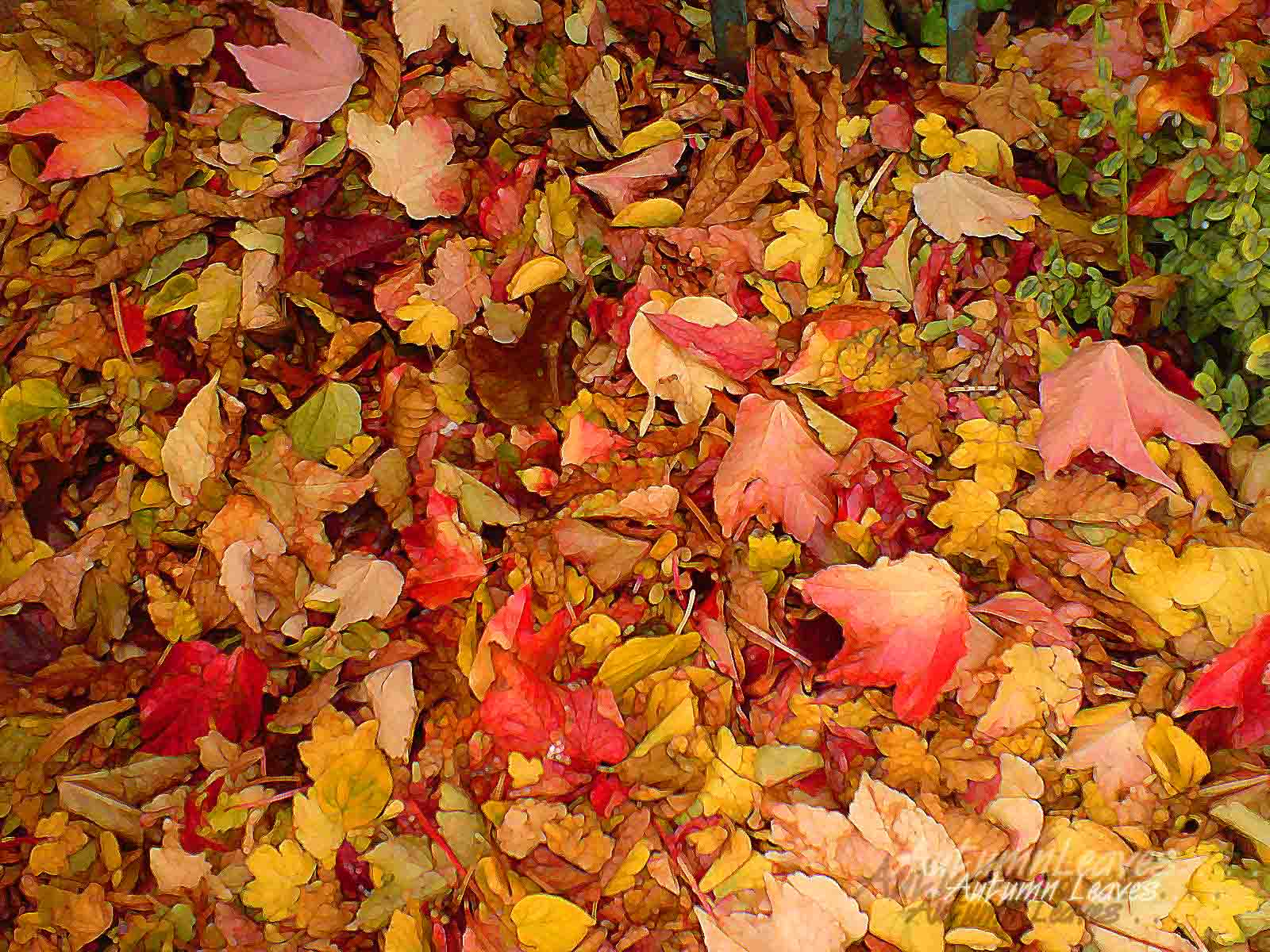 20 Latest Autumn Maple leaves HD Wallpaper 2011 1600x1200