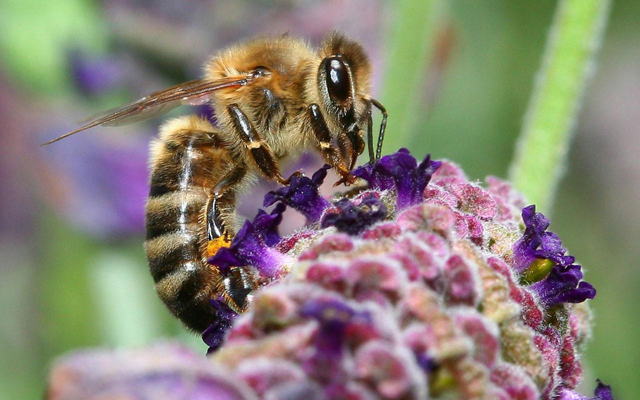 bee wallpaper desktop wallpapersafari