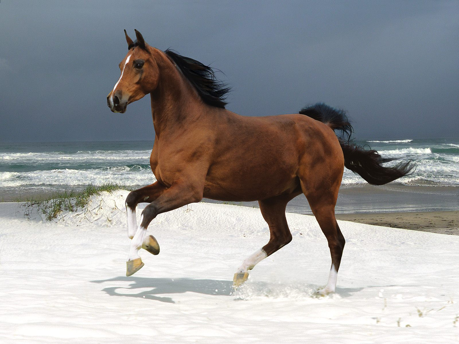 Wallpaper of a brown horse in gallop on the beach 1600x1200