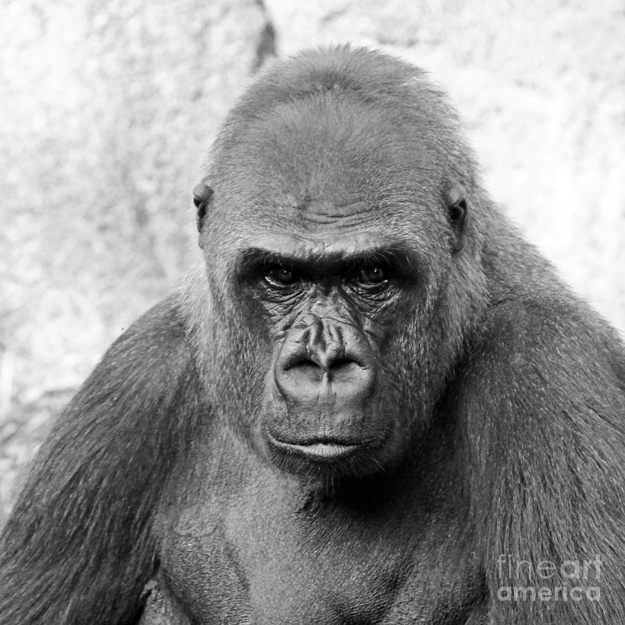 Gorilla White Background Photograph by Cheryl Del Toro 900x900