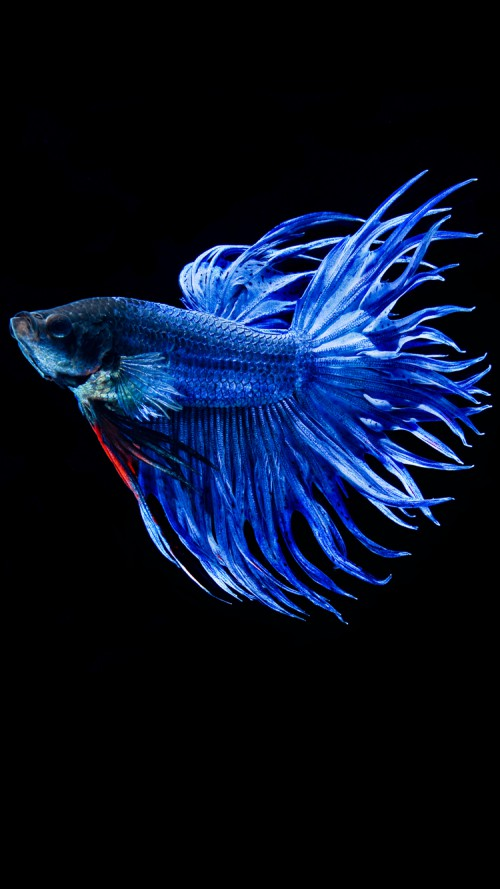 Apple iPhone 6s Wallpaper with Blue Betta Fish in Dark Background HD 500x889