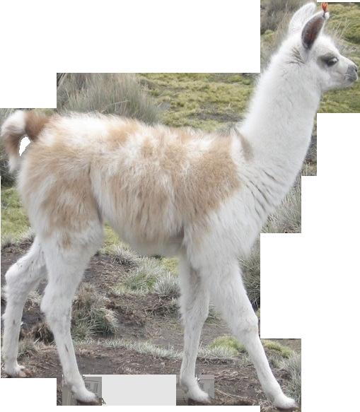 Llamas In A Car