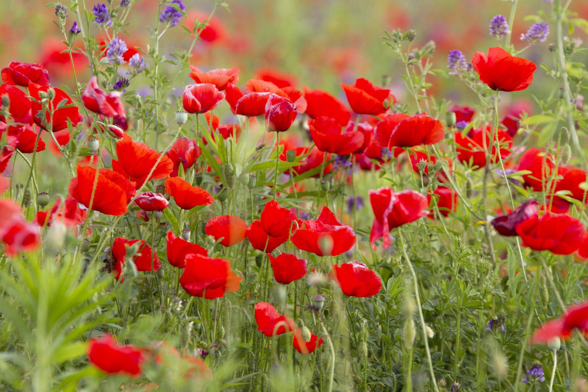 field poppies poppy wallpaper background 2048x1365