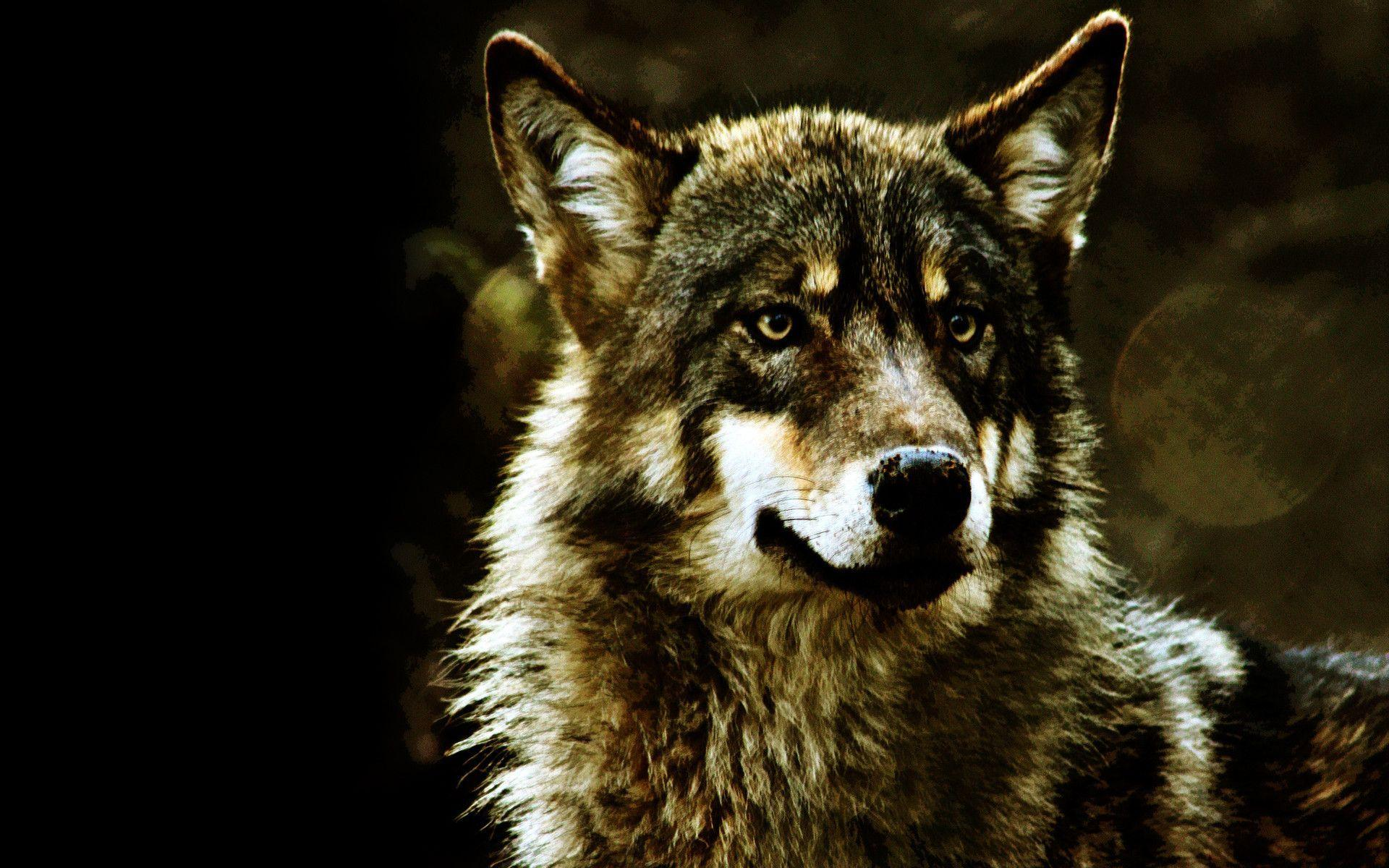 Gray Wolf Wallpapers 1920x1200