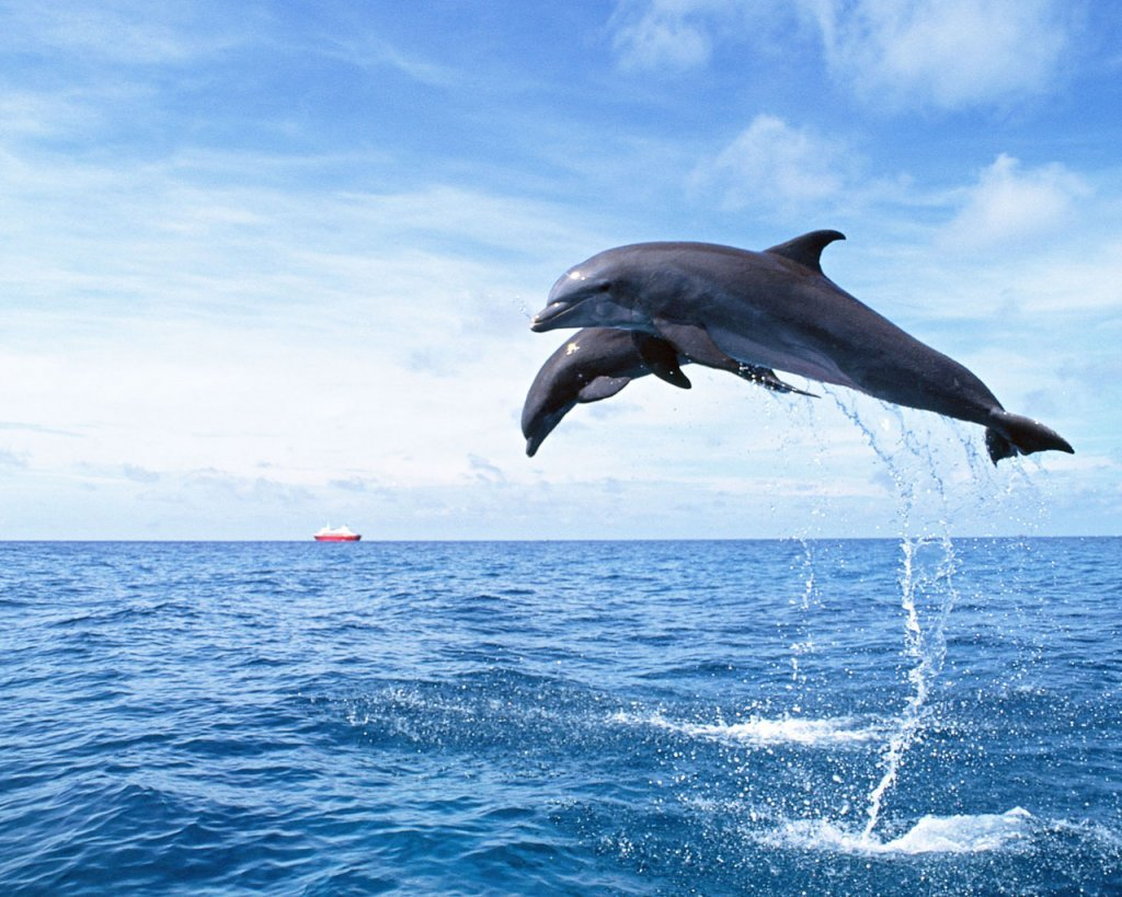 Dolphin Wallpaper 1024x819
